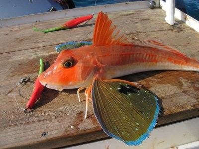 how to cook gurnard fish