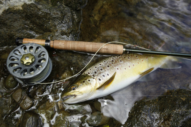 1550 Maitai River Brown Trout 650